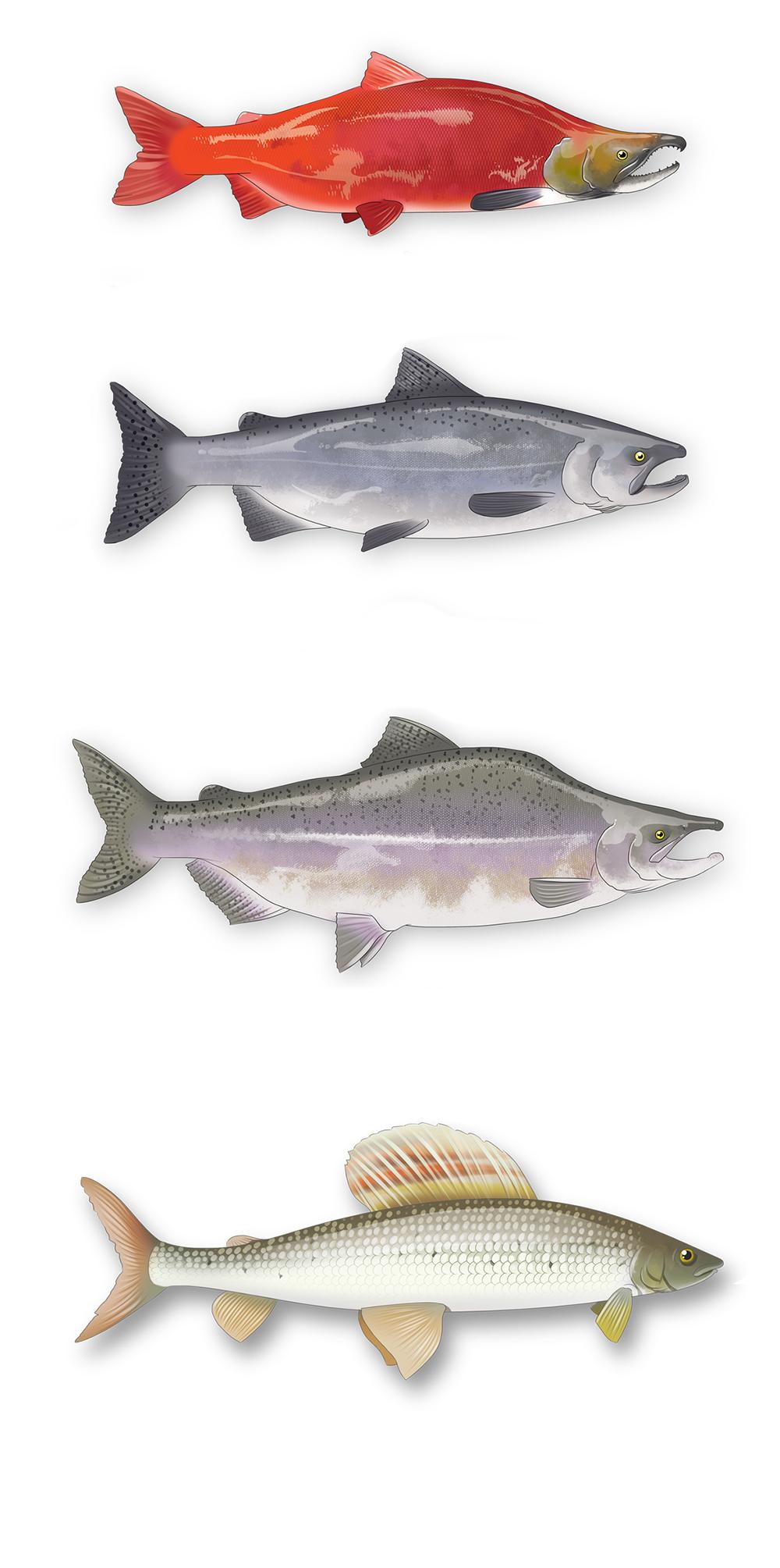 dessins réaliste de saumons